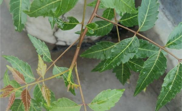 Veins_of_the_leaves,_neem,_Tamil_Nadu463