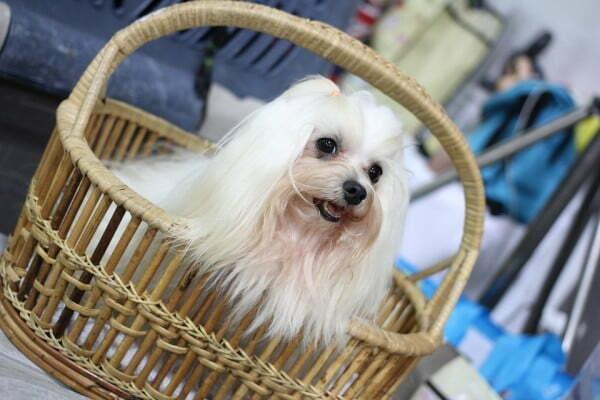 Small Dogs Dog Shih Tzu Canny Dog show Dog Show: wedding